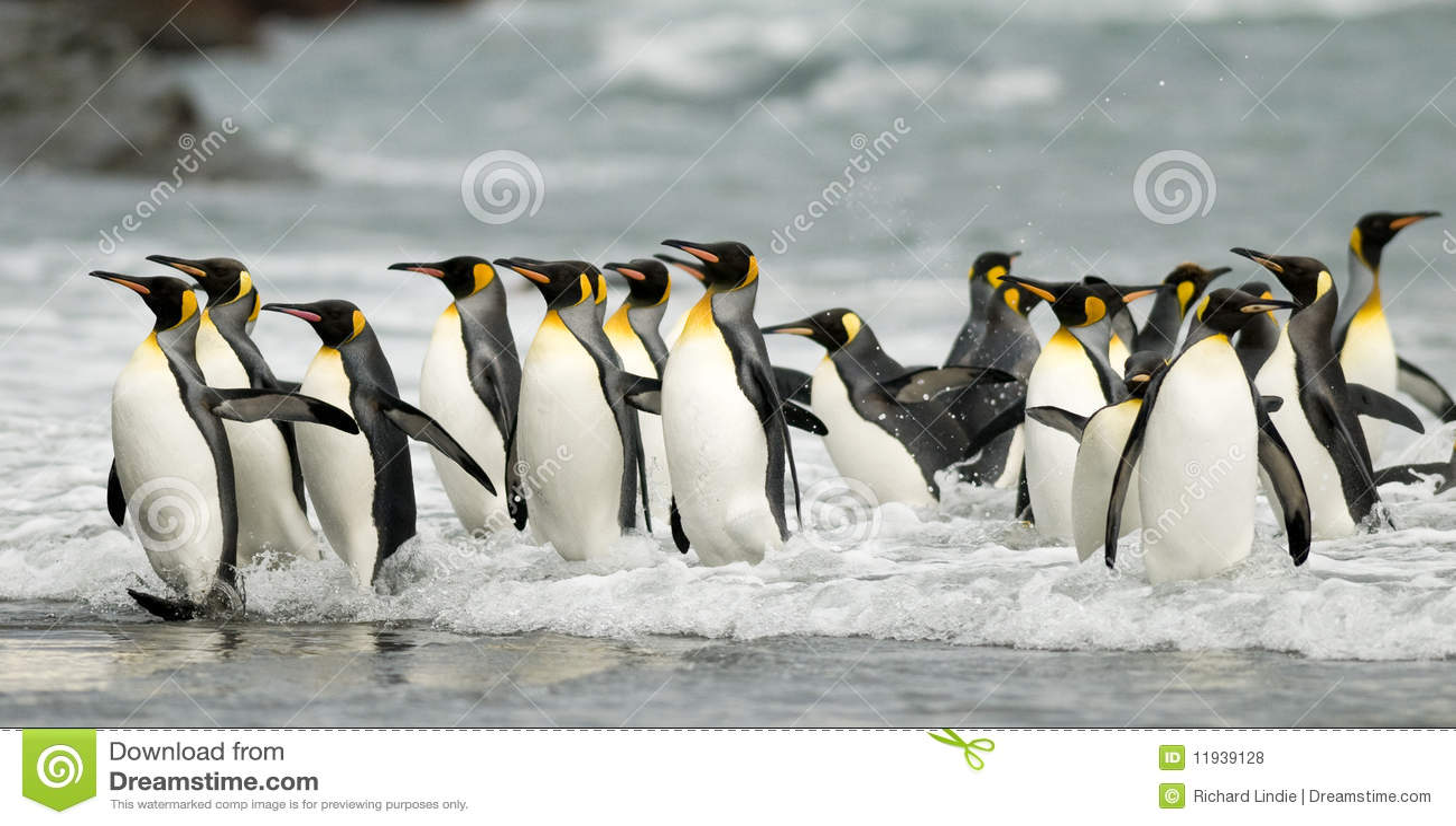 Rei pinguins na ressaca