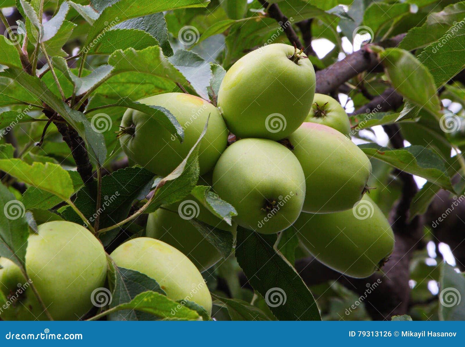 reife pfel auf dem apfelbaum im sommer stockfoto bild von garten farben 79313126. Black Bedroom Furniture Sets. Home Design Ideas