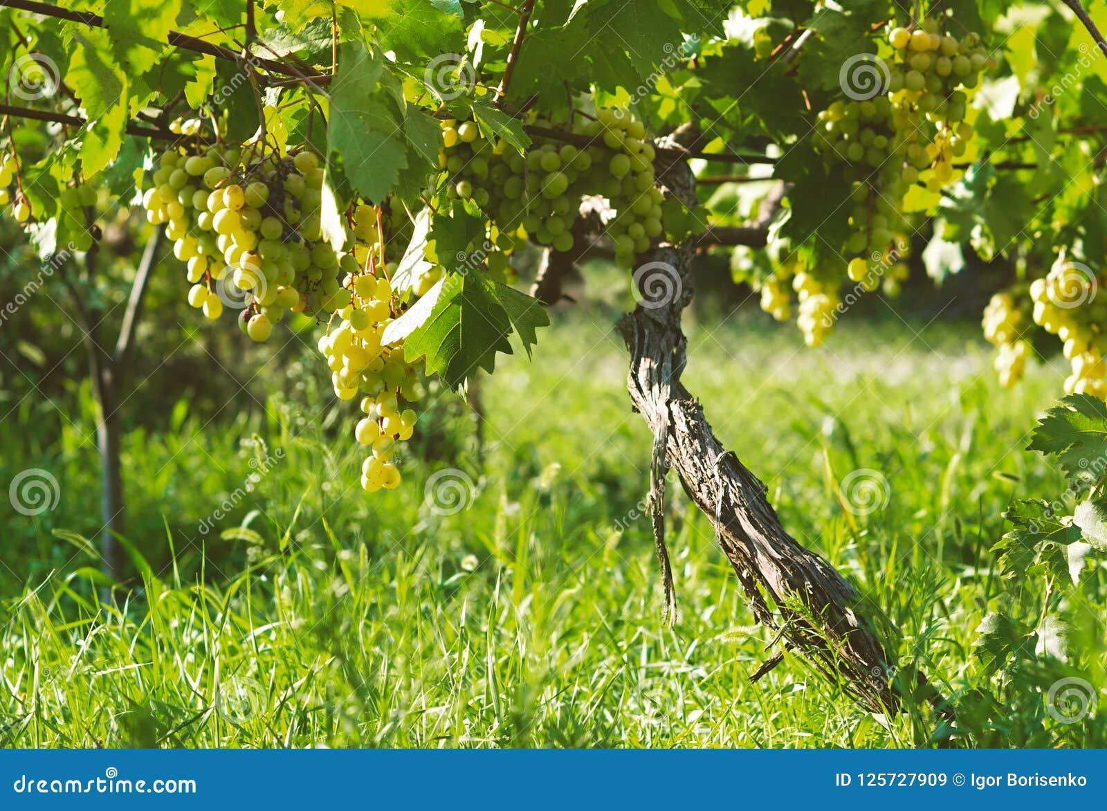 Reife Bündel Frucht der weißen Traube des Herbstes ernten bereites zur Weiterverarbeitung in der Landwirtschaft und Herstellung u