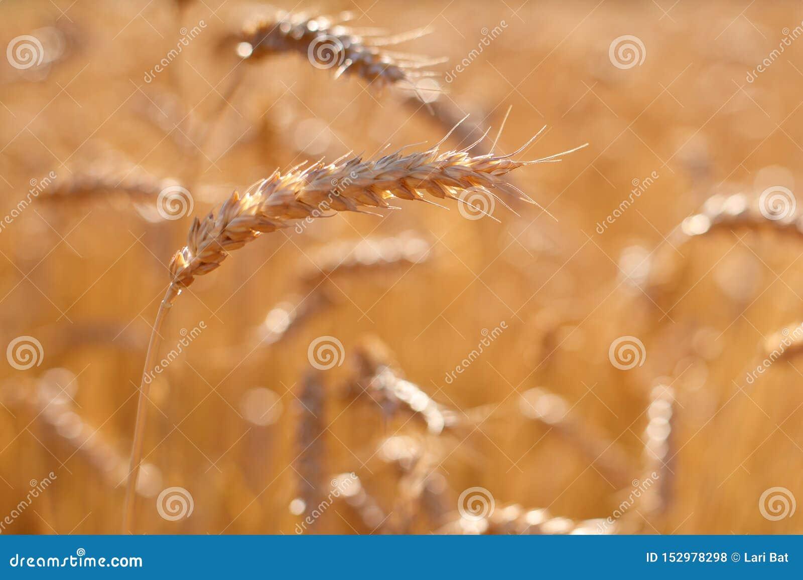 Reife goldene Ohren des Roggens gebeugt unter dem Gewicht von Körnern vor dem hintergrund des Feldes