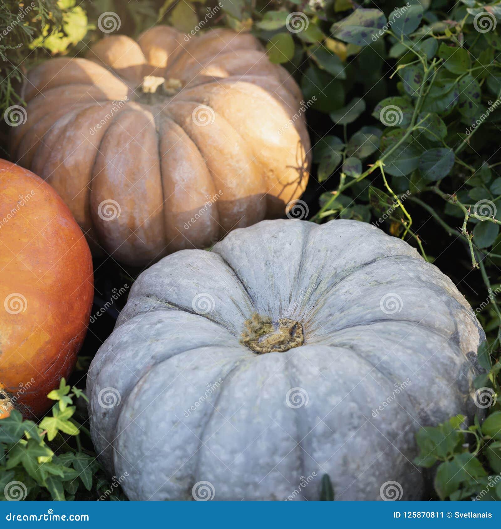 Reife Kürbisnahaufnahme Traditionelles Symbol für Erntefeiertage, Danksagungs-Tag, Halloween Dekoration der Hauptfamilie
