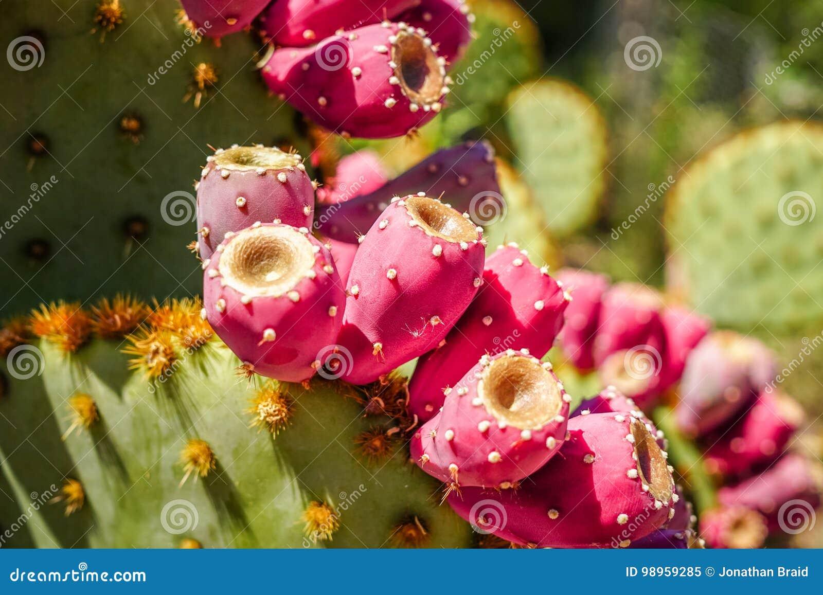 Reife Kaktusfrüchte