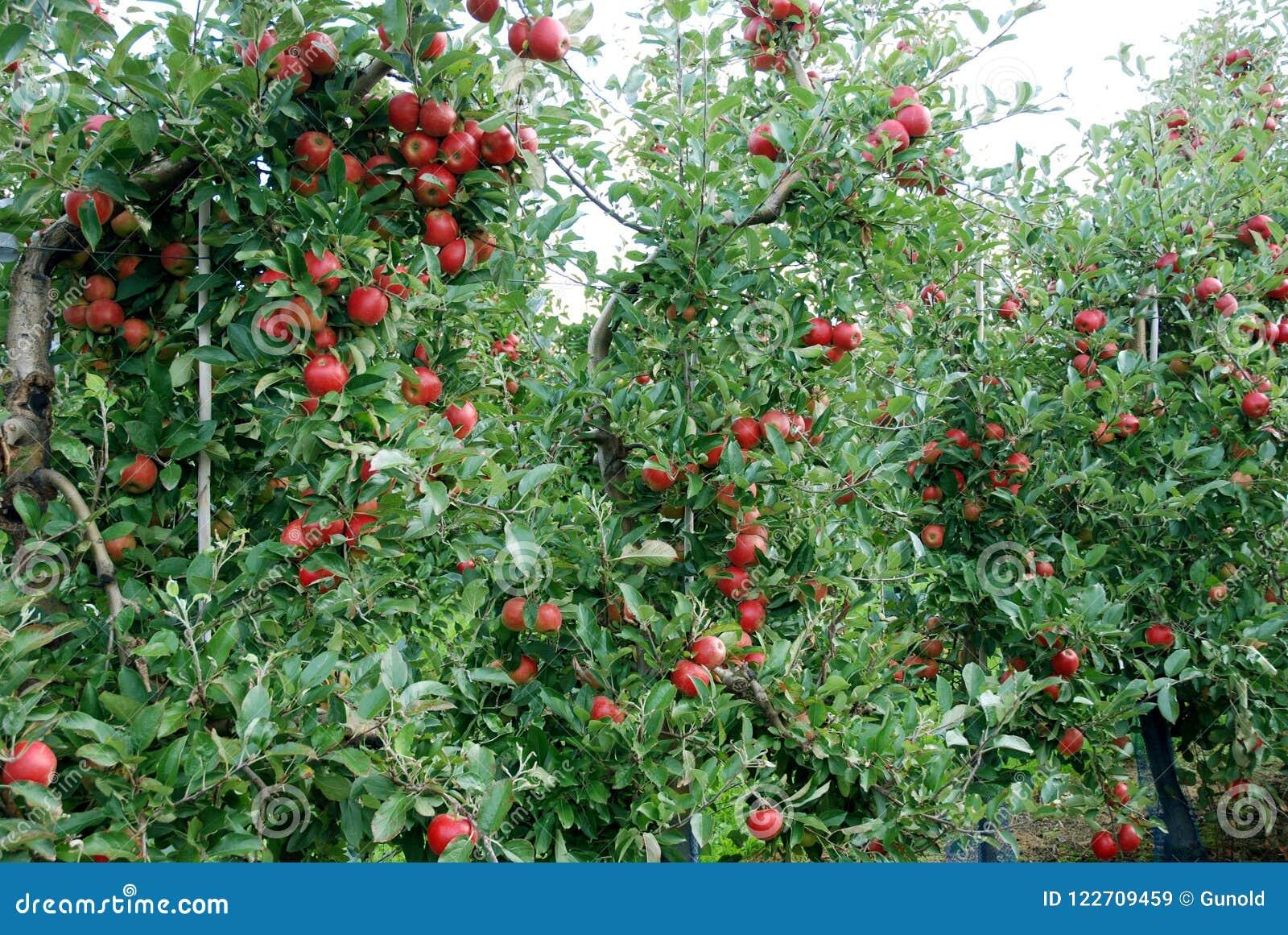 Reife rote Äpfel in einem Apfelgarten