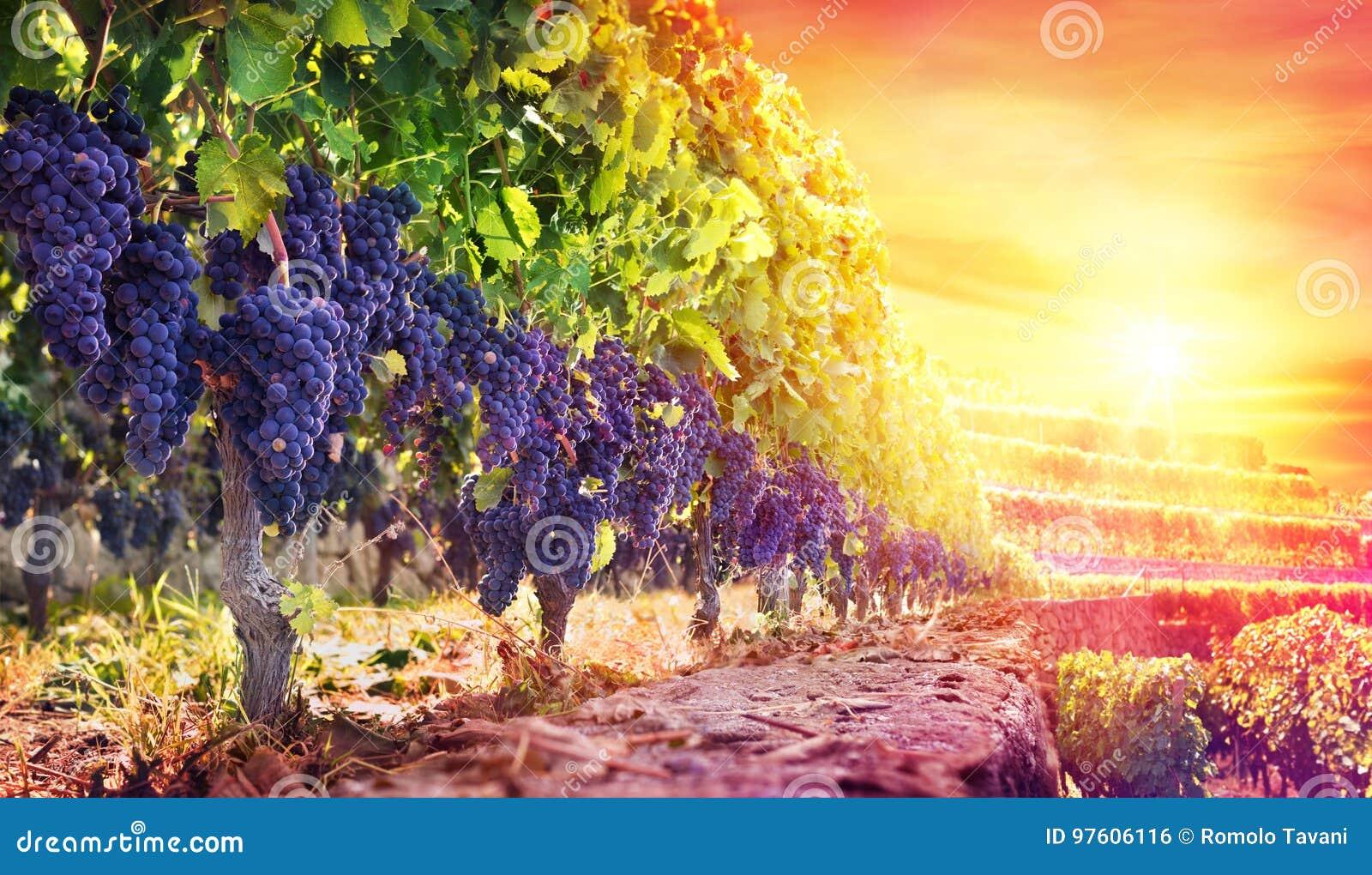 Reife Trauben im Weinberg bei Sonnenuntergang