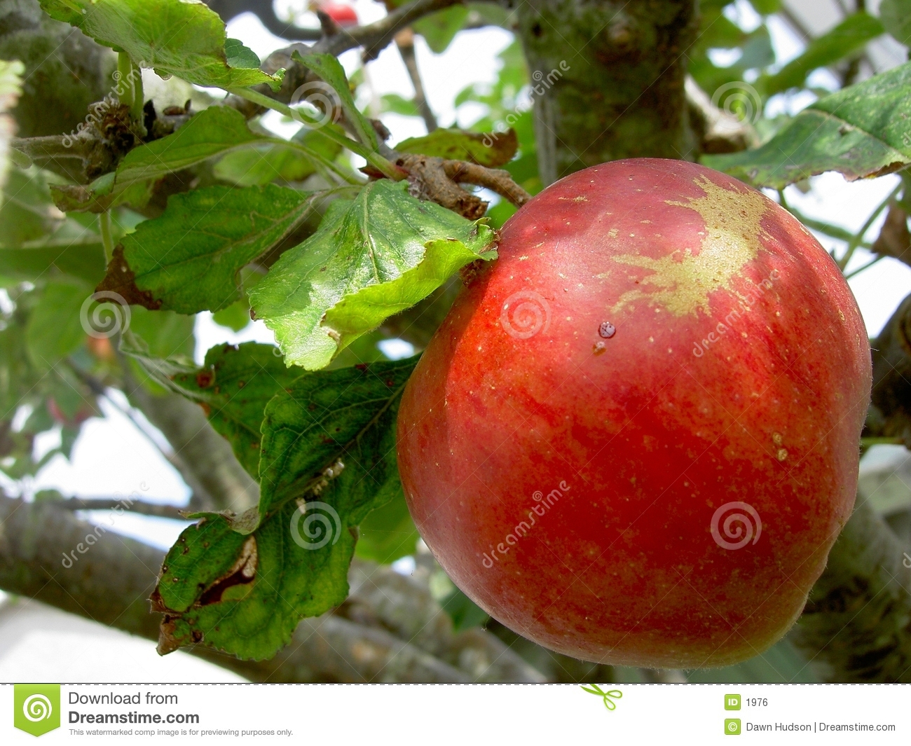 Reifer Apple