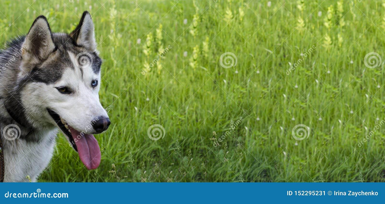 Reifer sibirischer Husky auf Hintergrund des grünen Grases Das Kabel hat Graues und weißer Pelz, verschiedene Augen sind blau und