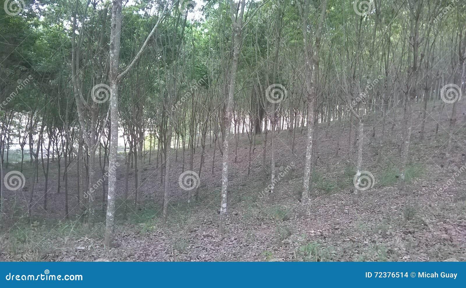Reihen der Bäume