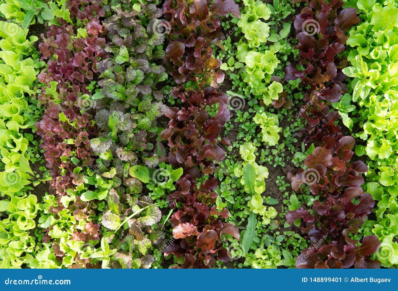 Reihen des Kopfsalates und des Senfes der verschiedenen Farben im Gartenbett