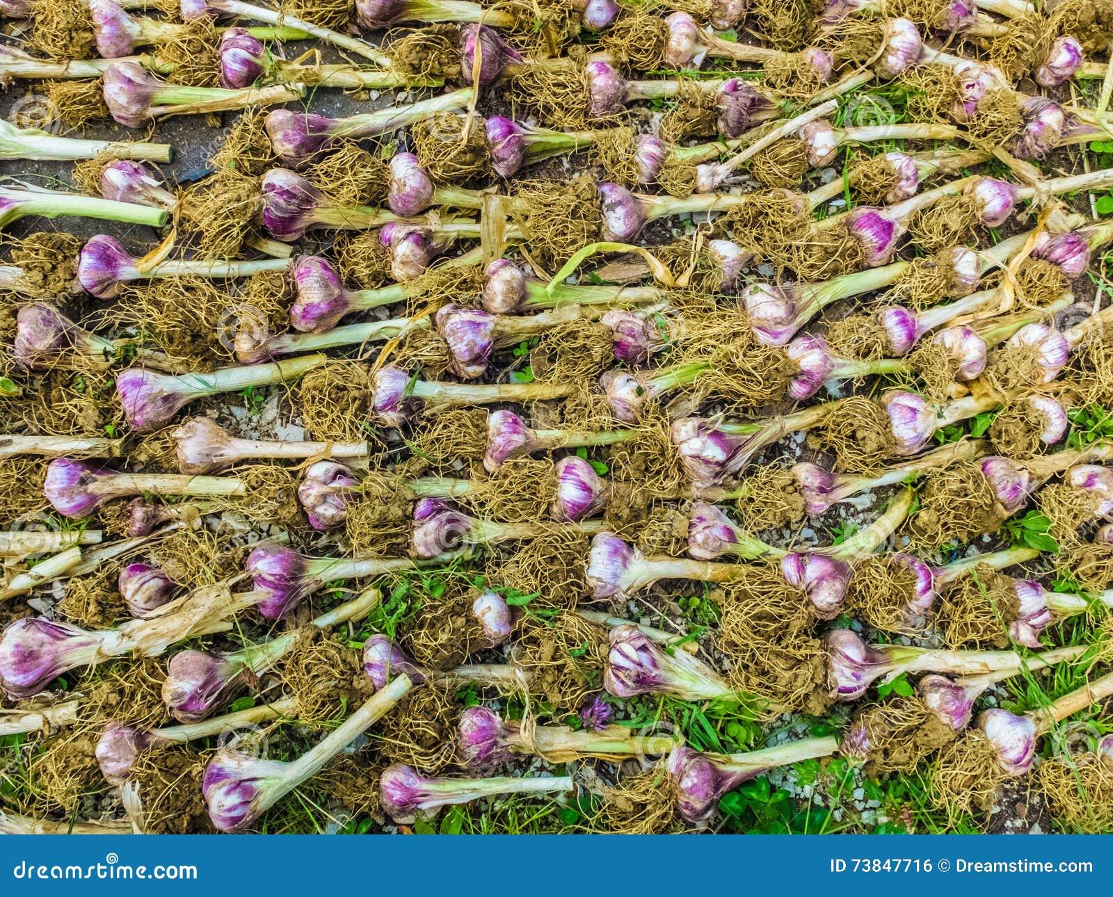 Reihen des trocknenden Biobodens des Knoblauchs