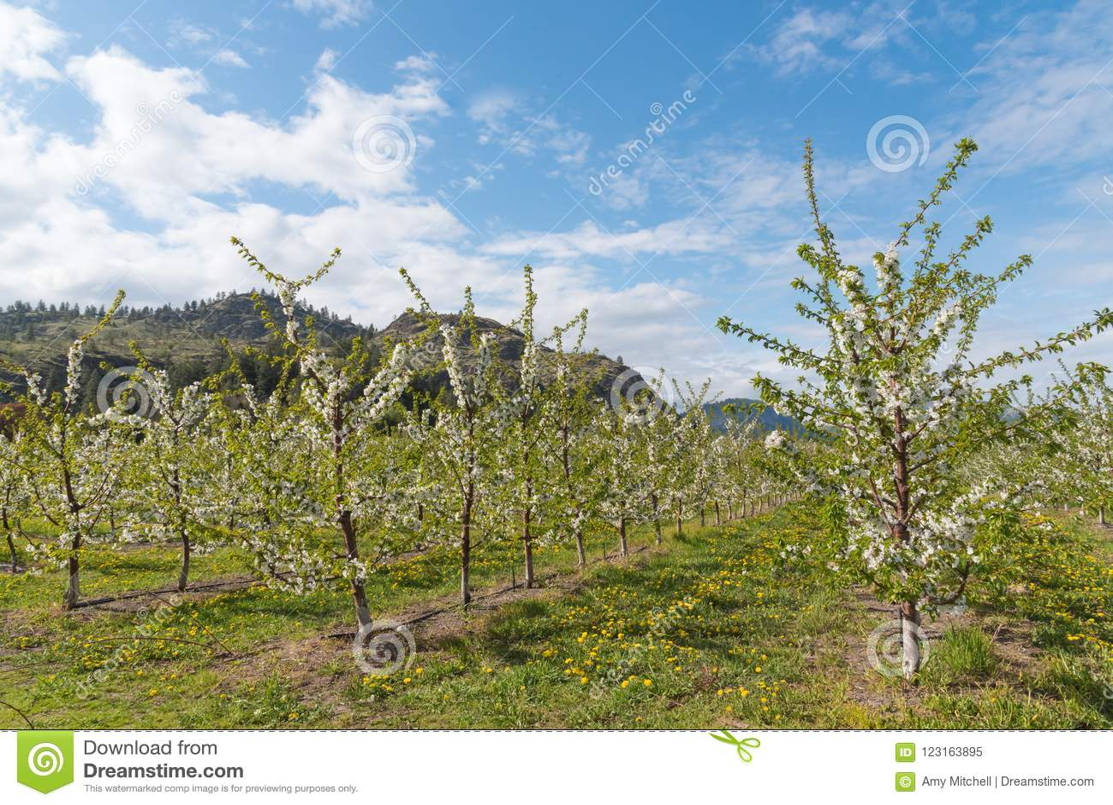 Reihen von blühenden Apfelbäumen im Obstgarten mit Bergen und blauem Himmel im Hintergrund