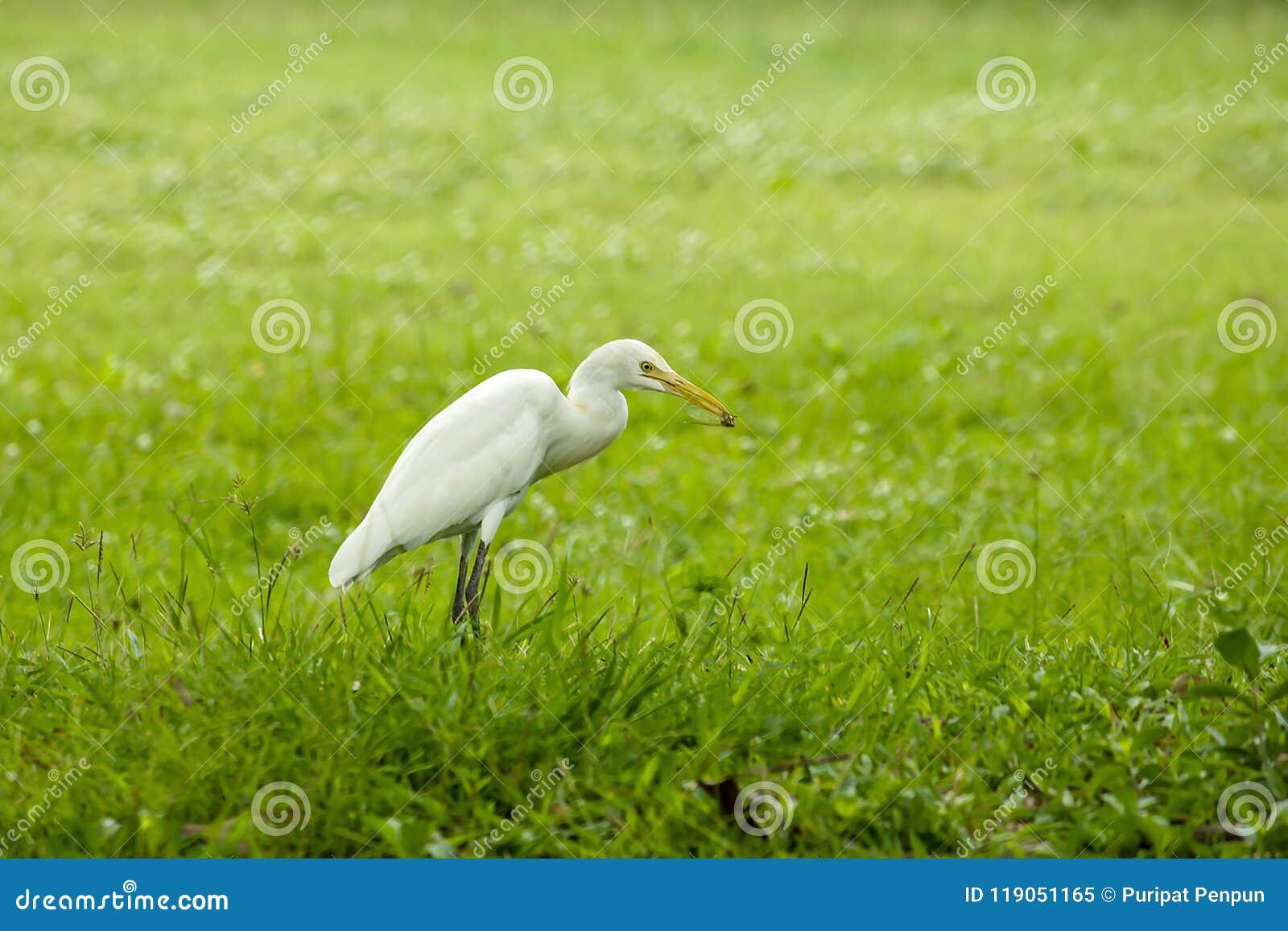Reiher, der auf den Rasen geht