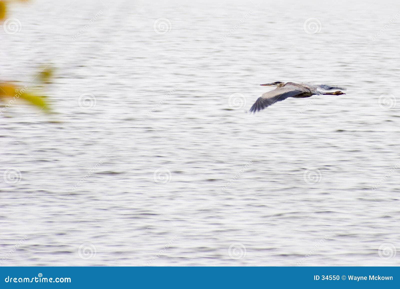 Download Reiher im Flug stockfoto. Bild von lagune, grau, vogel, lebensraum - 34550