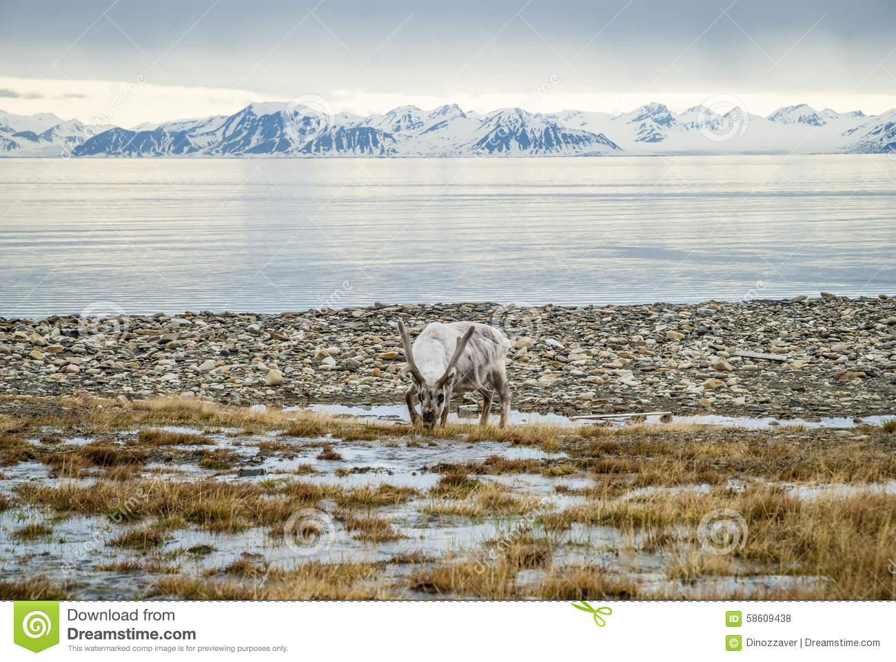 Reindeer in arctic summer
