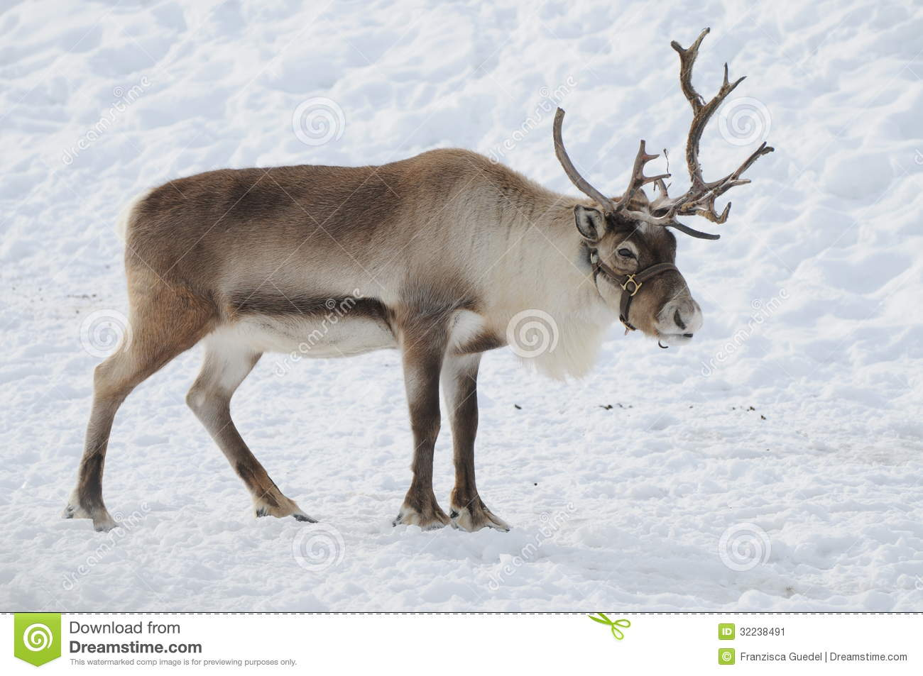 Beautiful reindeer found in the alps during Christmas time.