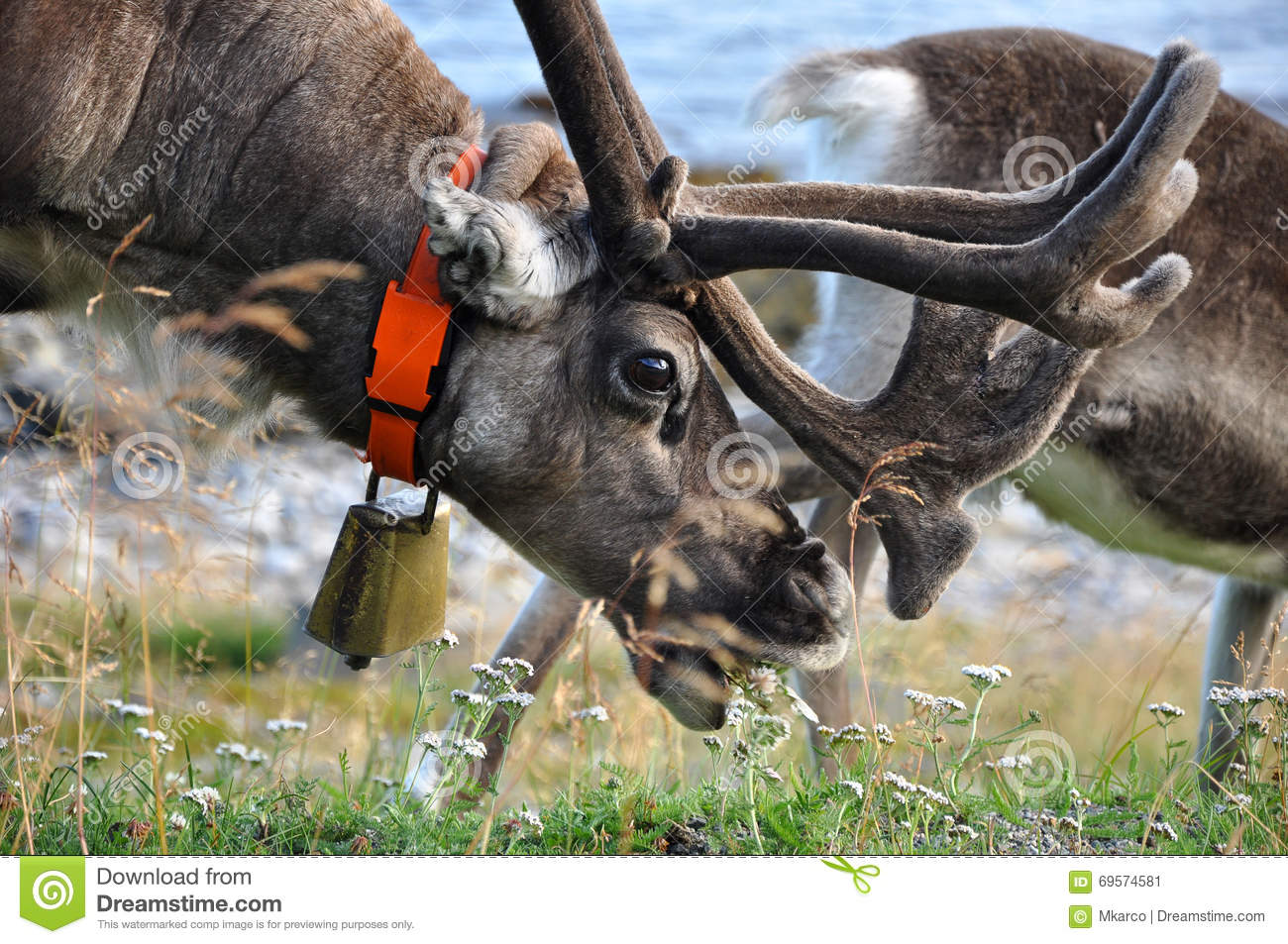 Reindeer with bell eating grass