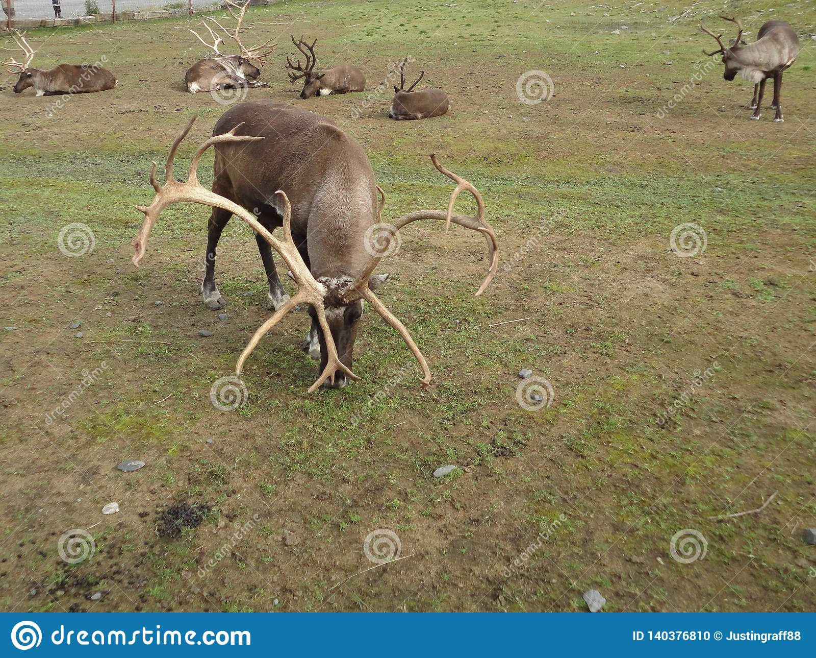 Reindeer Caribou in Alaska grazing in a grassy field. Grouped together as a herd