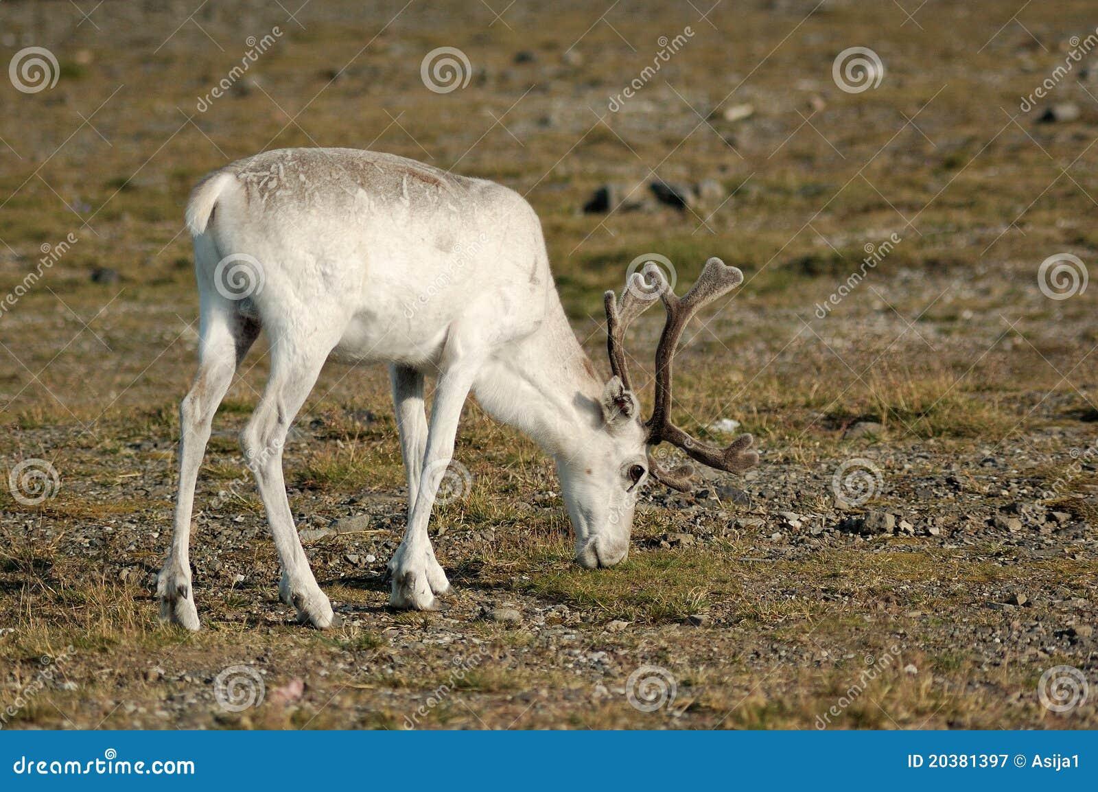 Reindeer eating grass, Norway