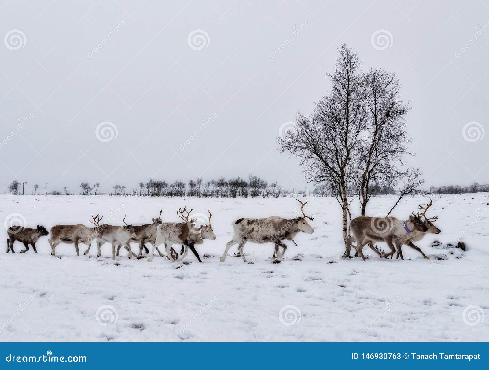 Reindeer flock walked in rows