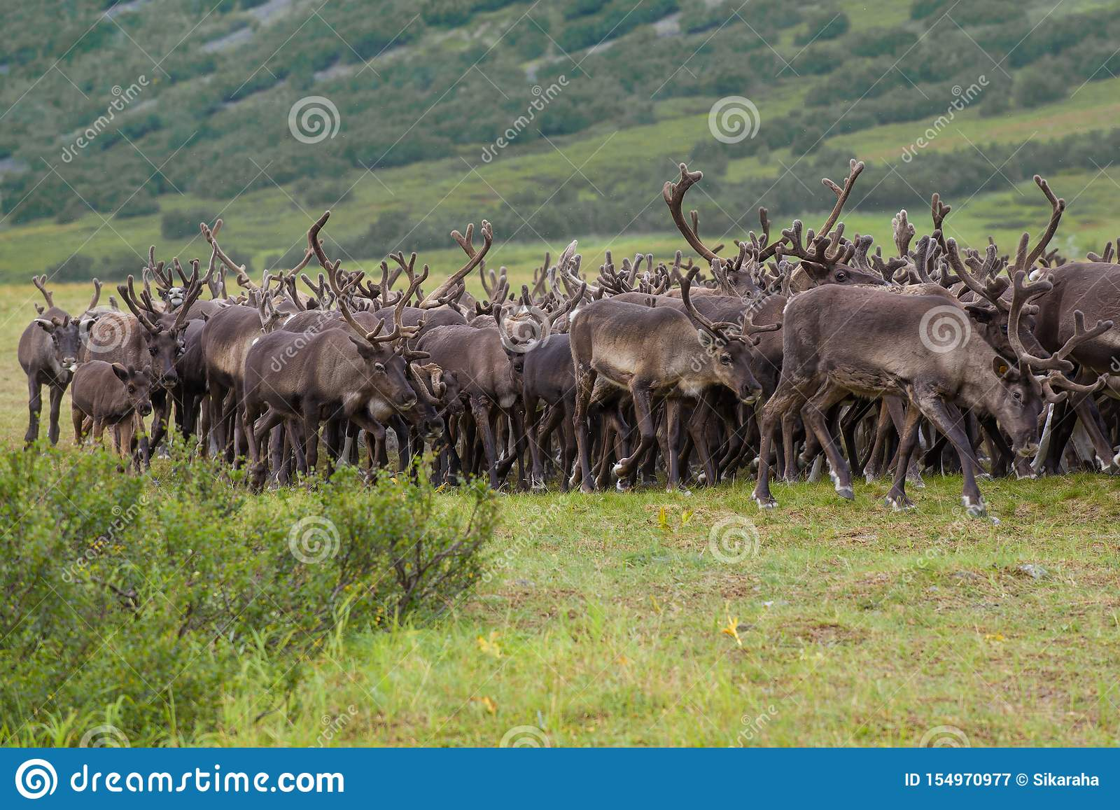 Reindeer in the herd, august day. Yamal, Russia