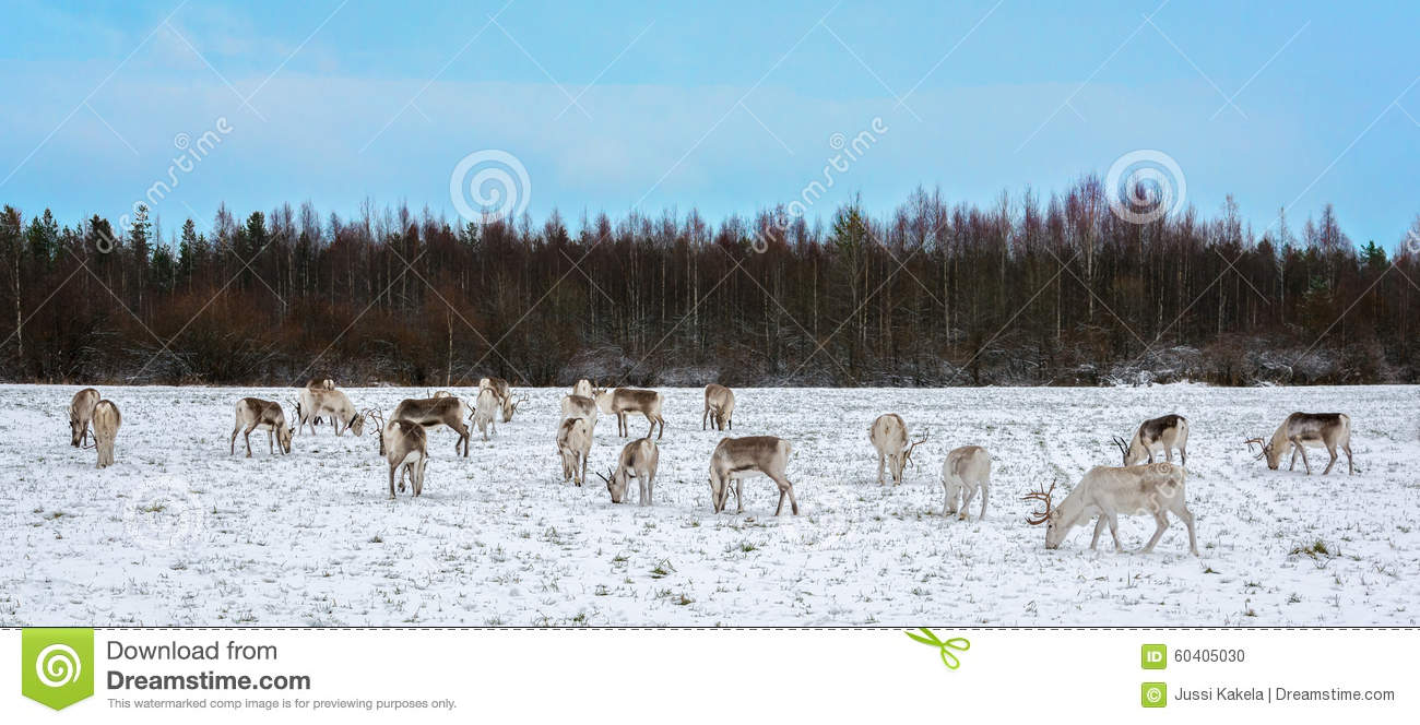 Reindeer herd eating