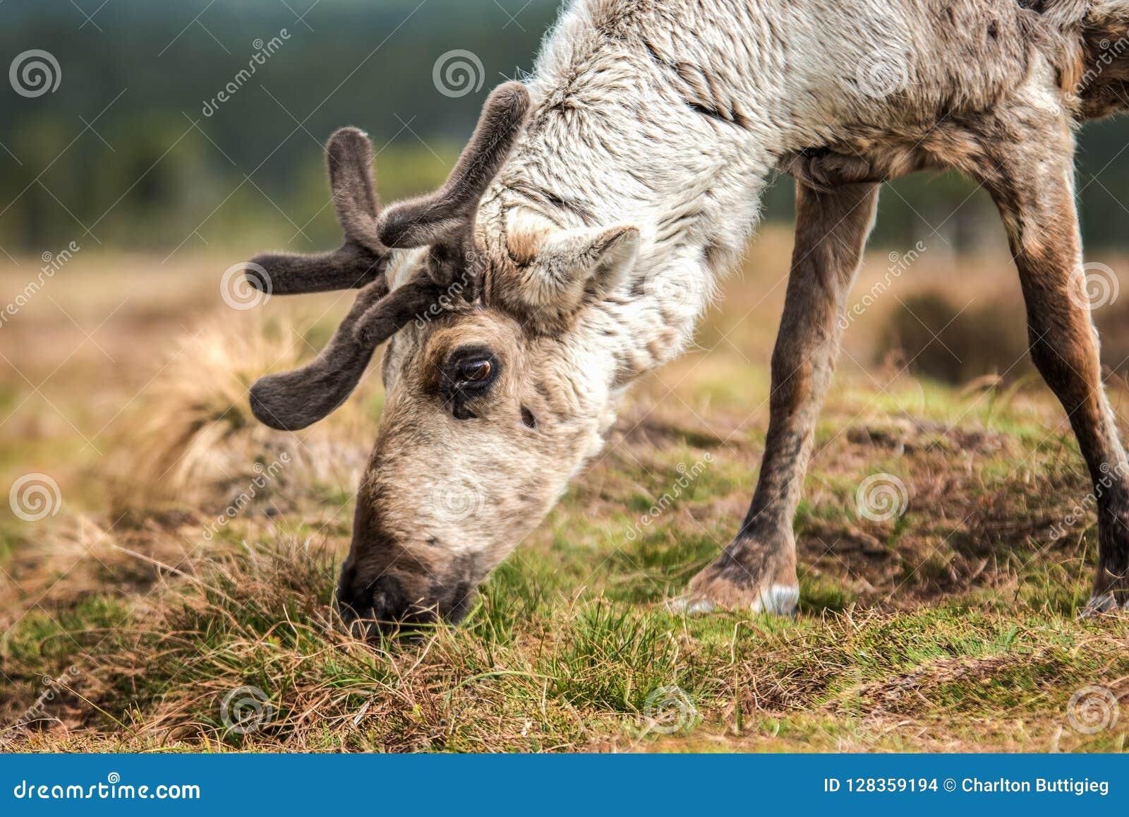 Reindeer on a hill