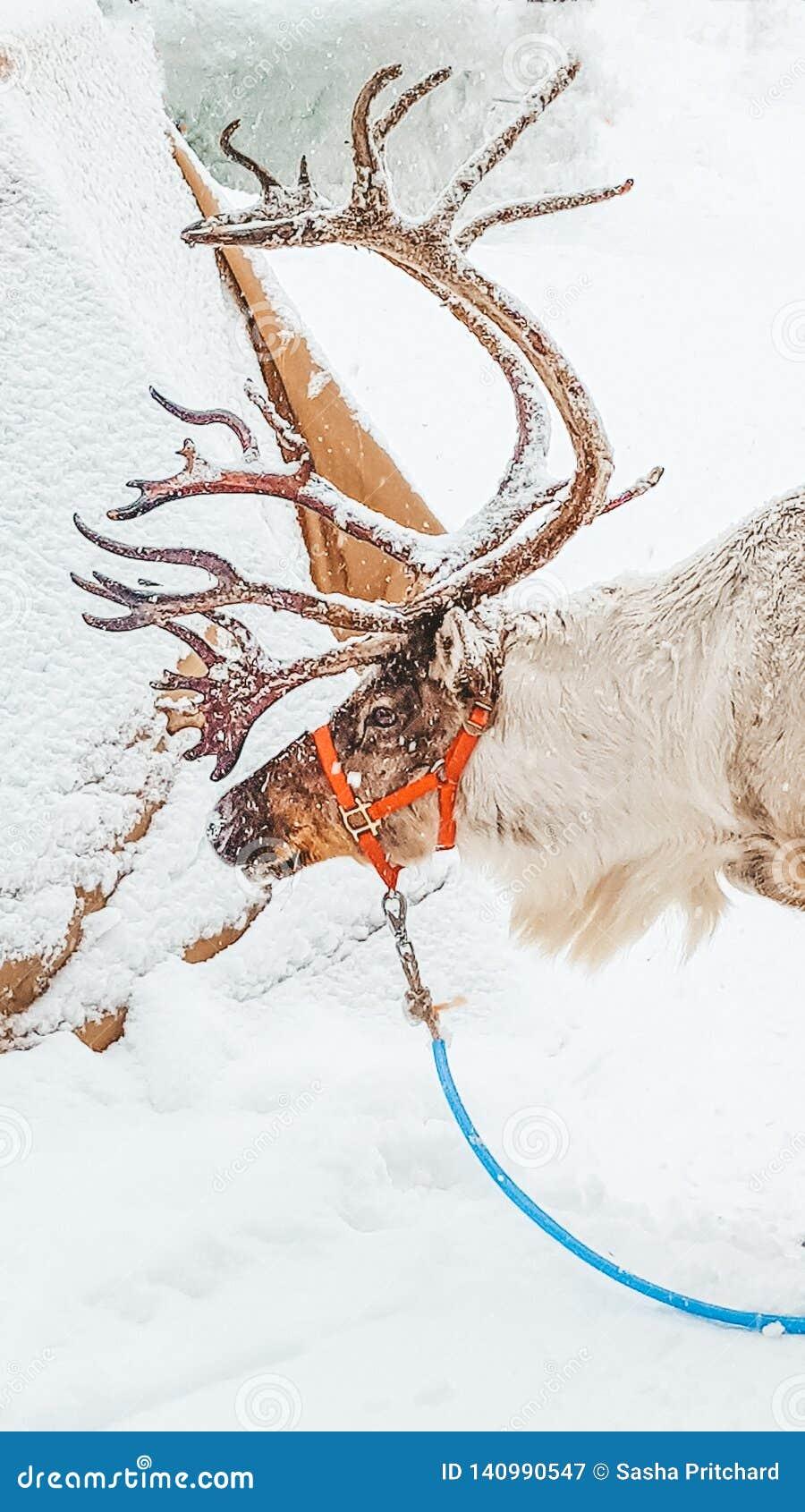 Reindeer int he snow in the winter