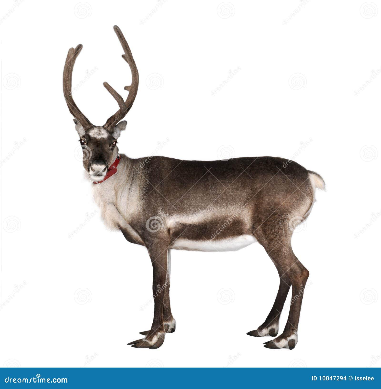 Real reindeer antlers side view - photo#6