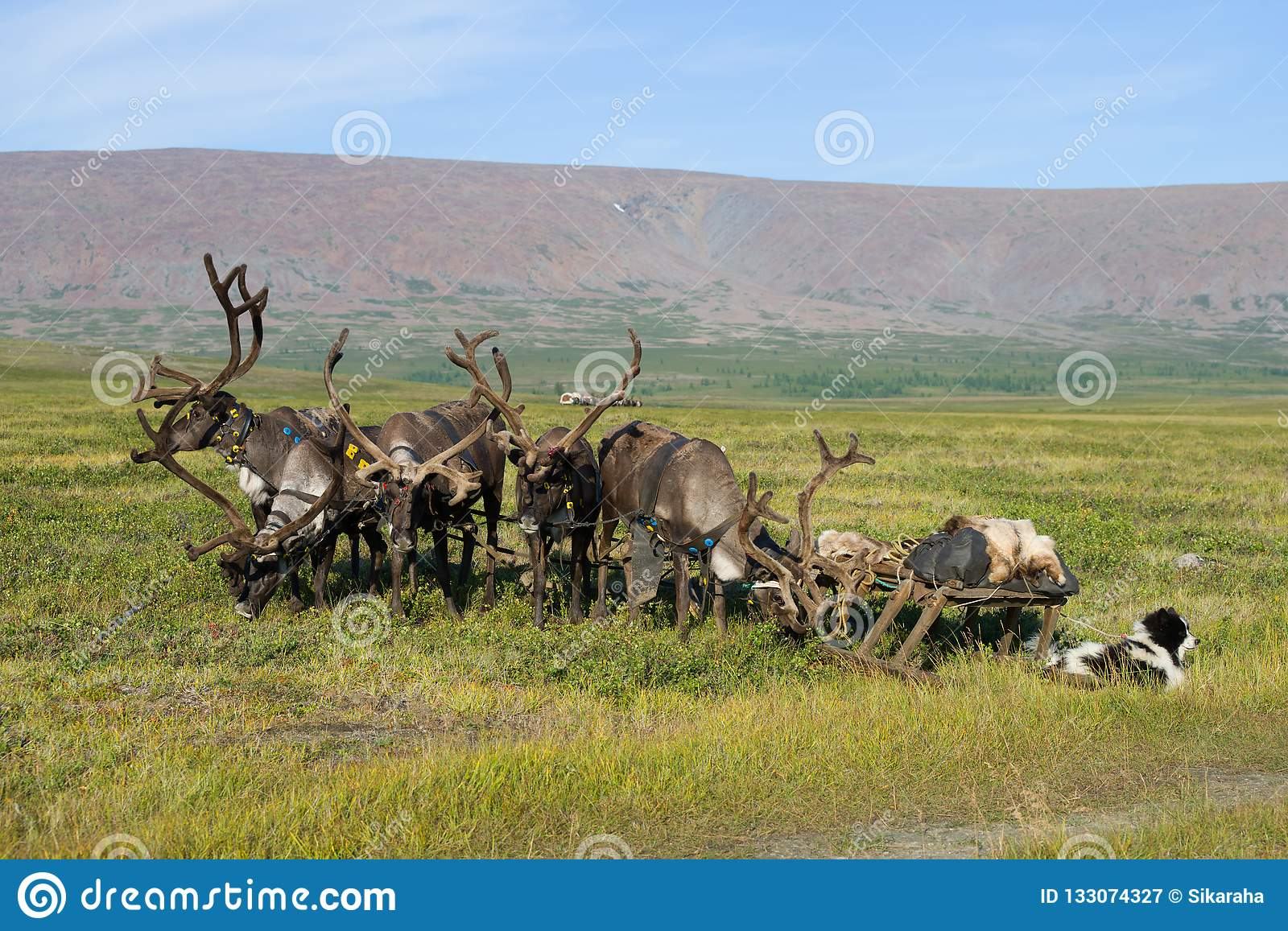 Reindeer with sleds in the Yamal tundra. Russia