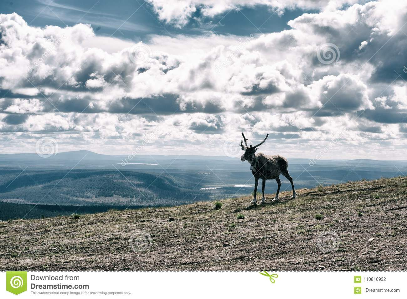 Reindeer On Top Of A Mountain In Finnish Lapland Download Preview
