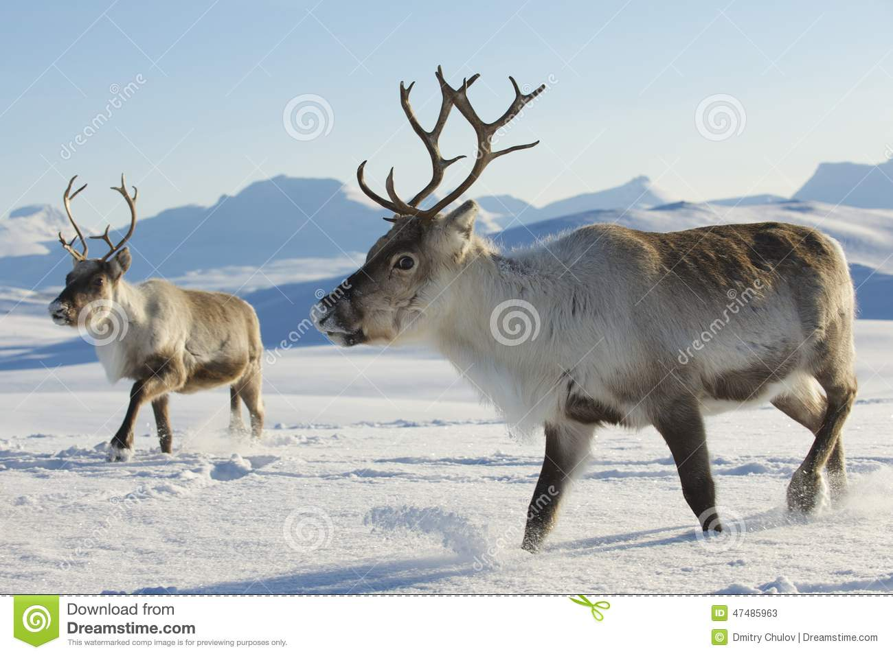 Nature Images 2mb: Reindeers In Natural Environment, Tromso Region, Northern