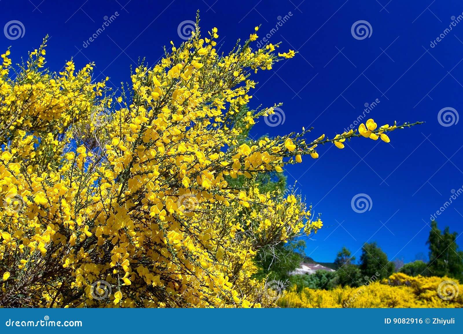 Reines blaues reines Gelb