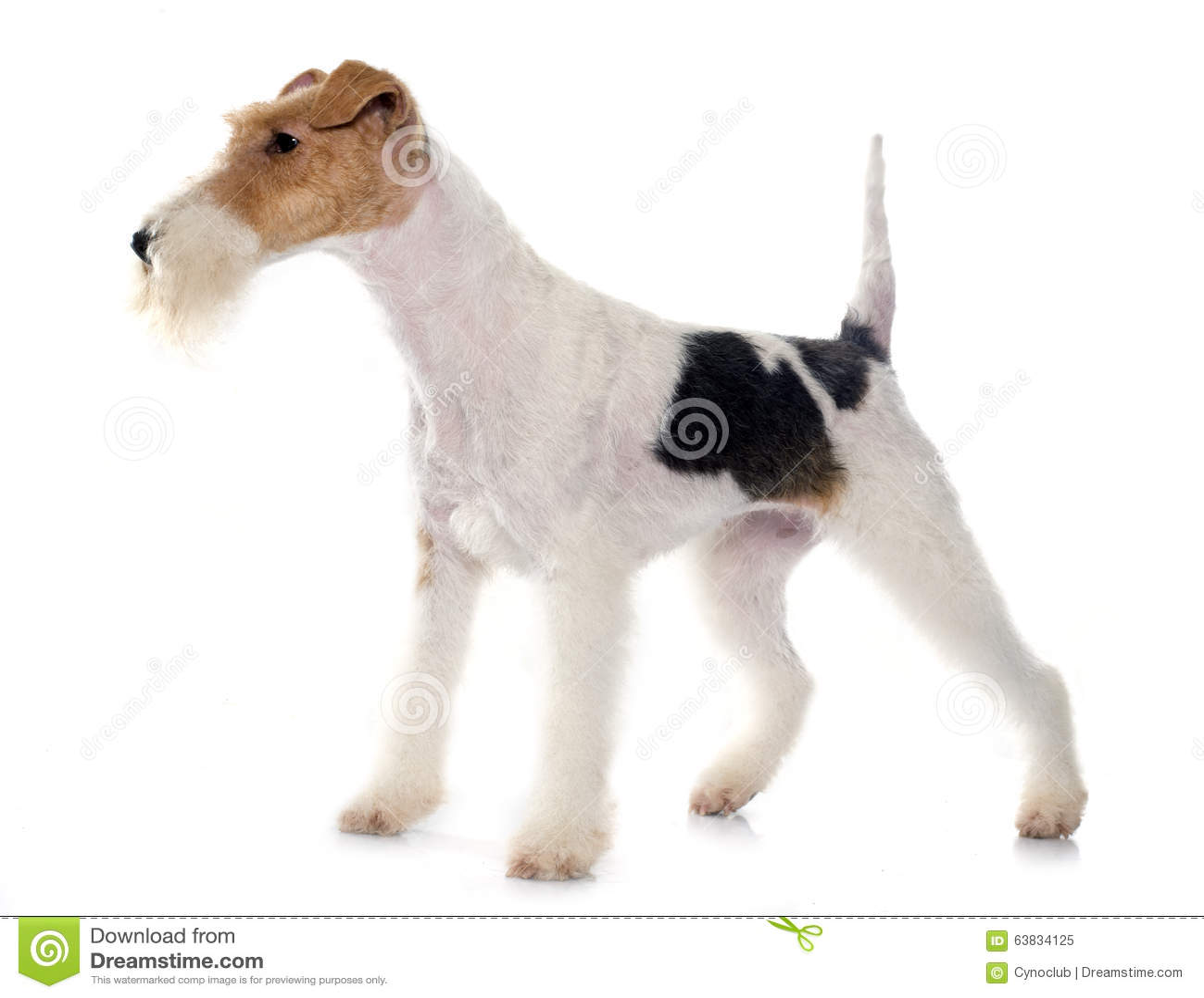 Reinrassiger Foxterrier stockbild. Bild von terrier, jagd - 63834125