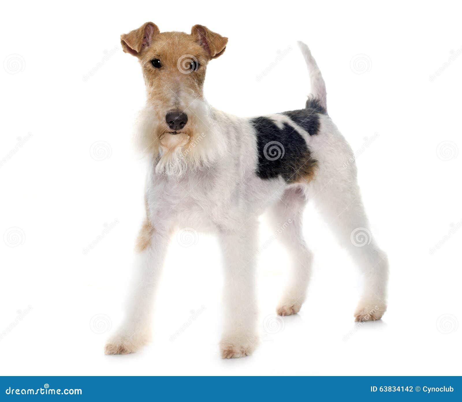 Reinrassiger Foxterrier stockfoto. Bild von tier, terrier - 63834142