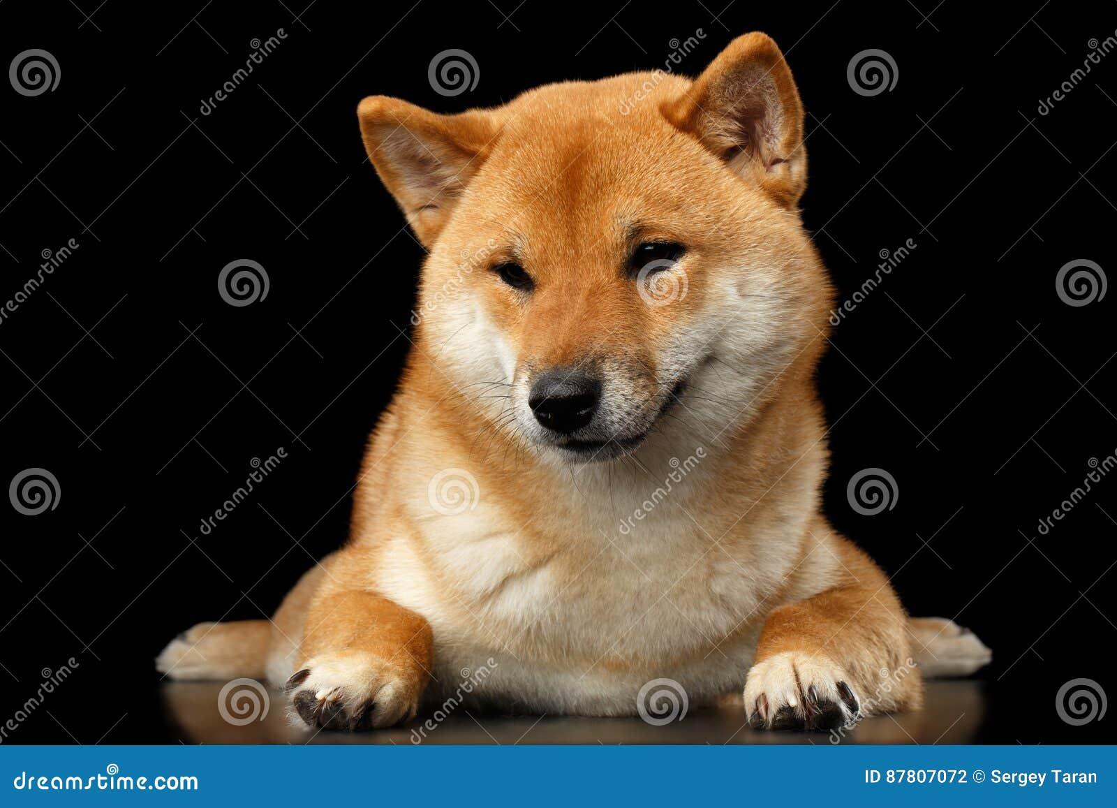 reinrassiger nah liegender shibainu hund blicke