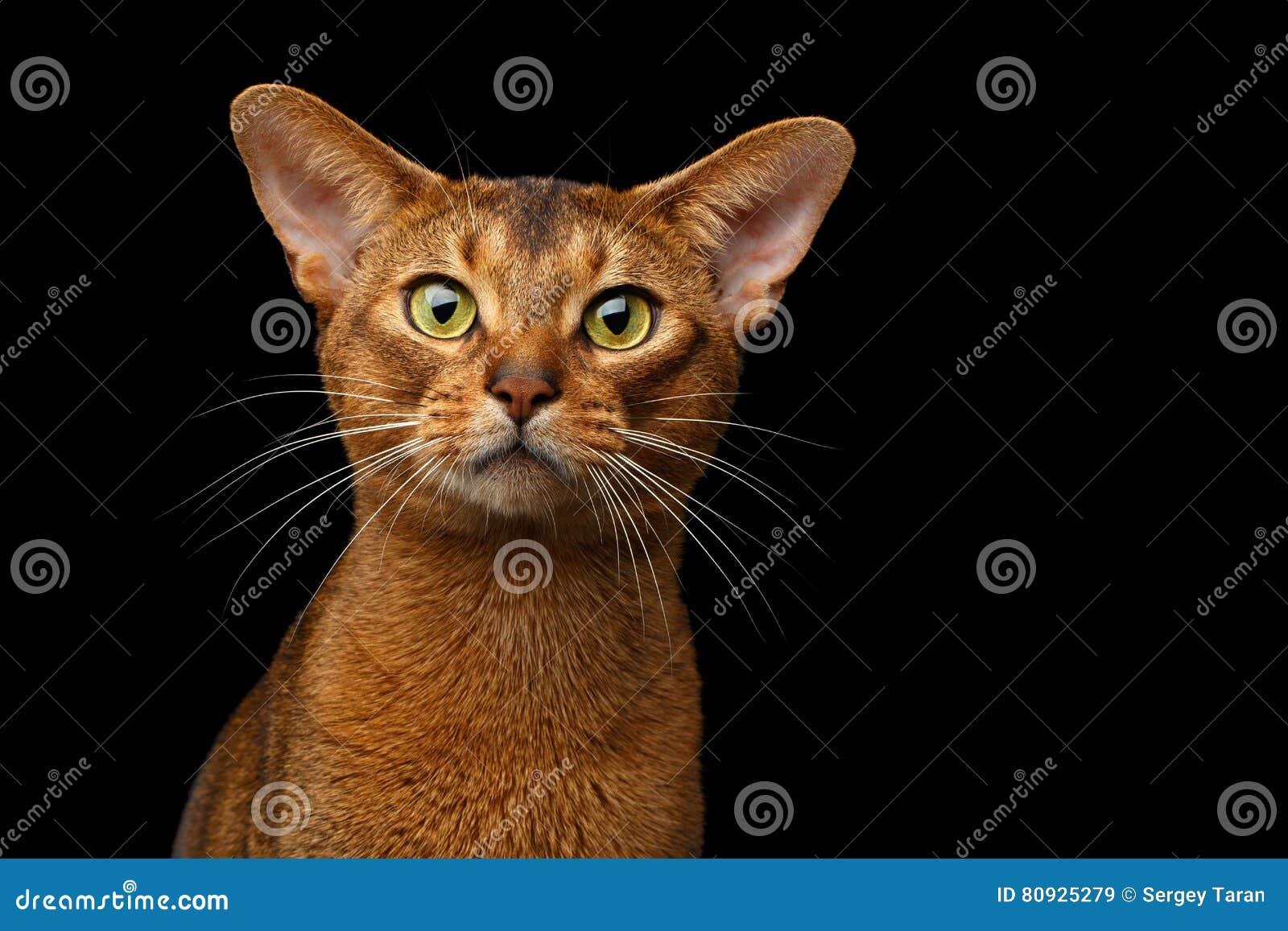 Reinrassiges abyssinisches Katzenporträt der Nahaufnahme lokalisiert auf schwarzem Hintergrund
