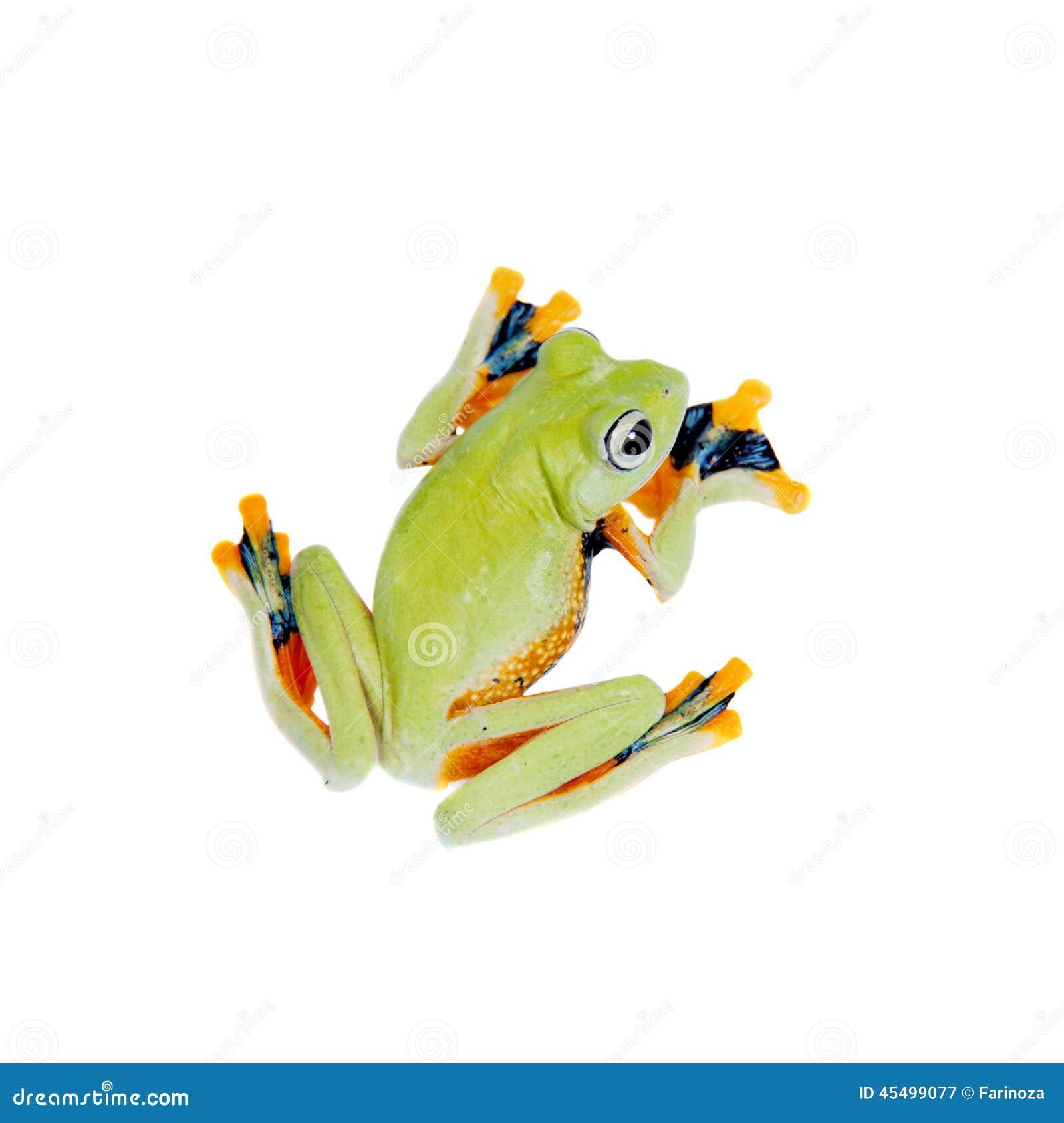 Reinwardt的飞行在白色隔绝的雨蛙