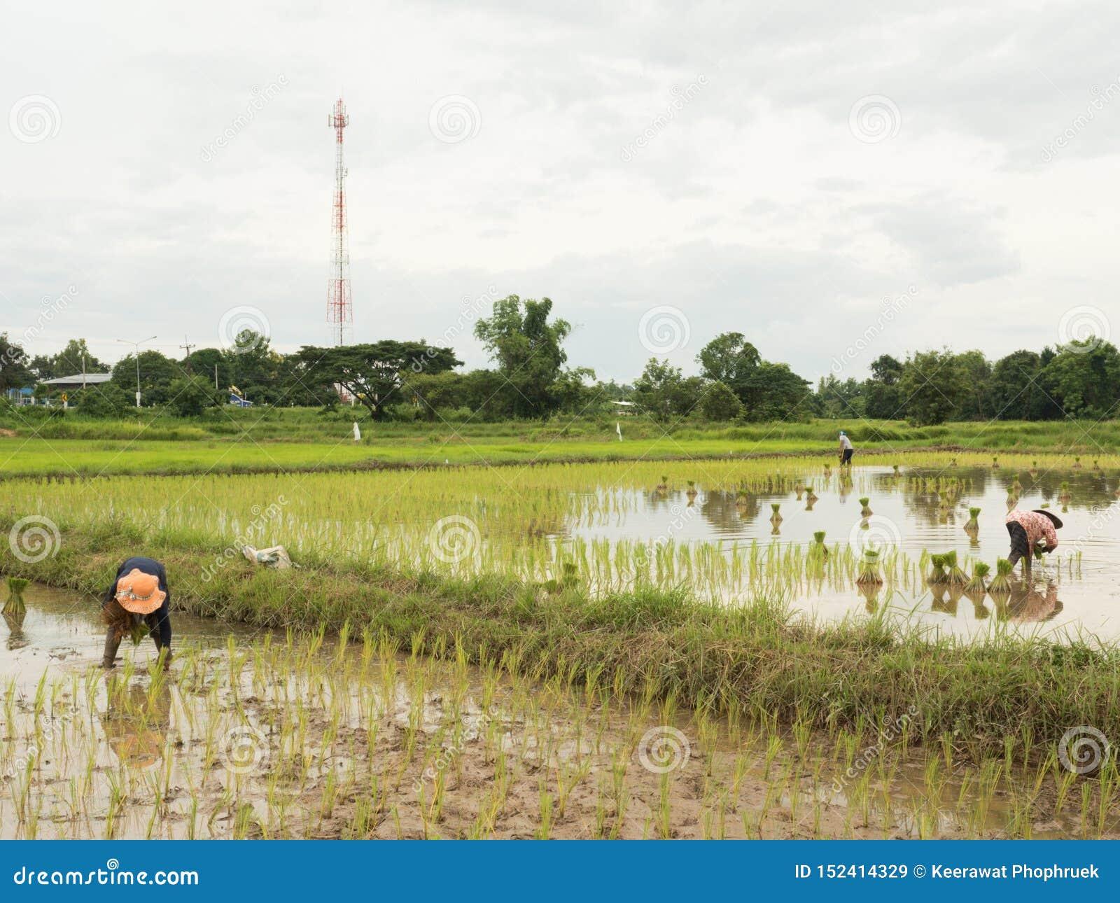 Reis, der Jahreszeit in Thailand bewirtschaftet