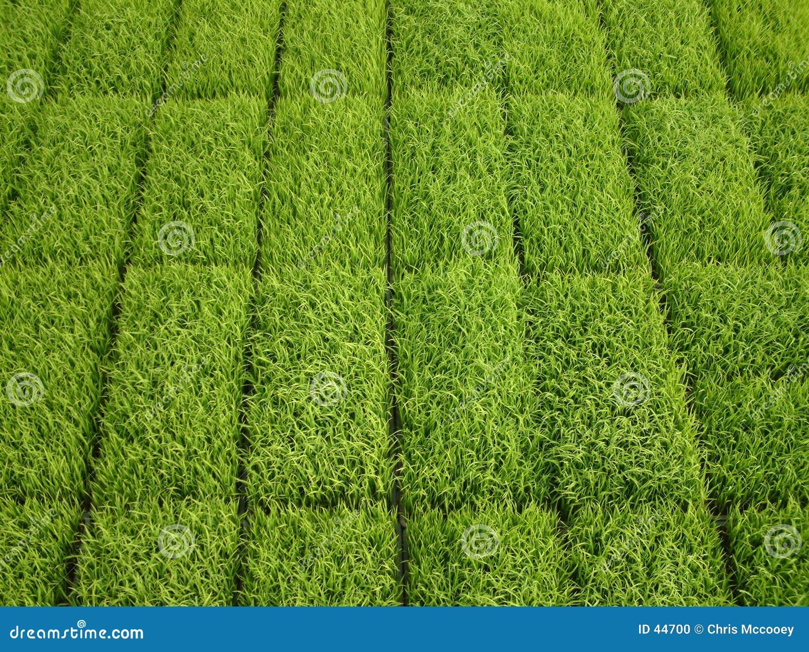 Reis-Eintragfäden