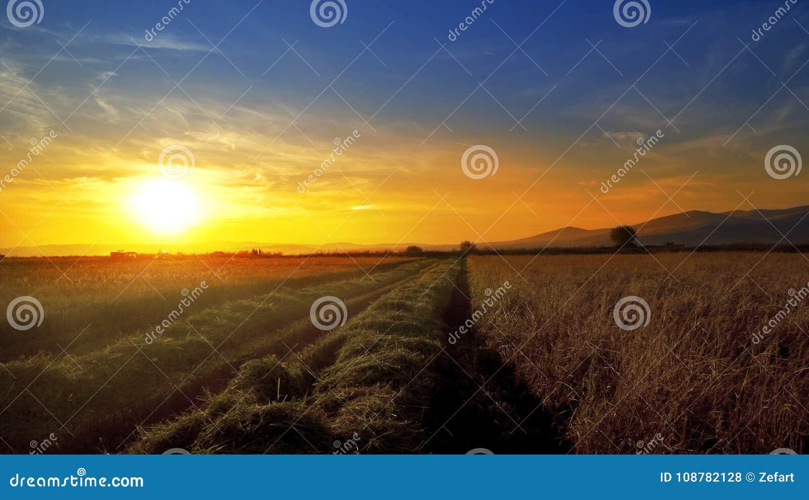 Reis, Weizenfeld gegen Sonnenuntergang während der Ernte