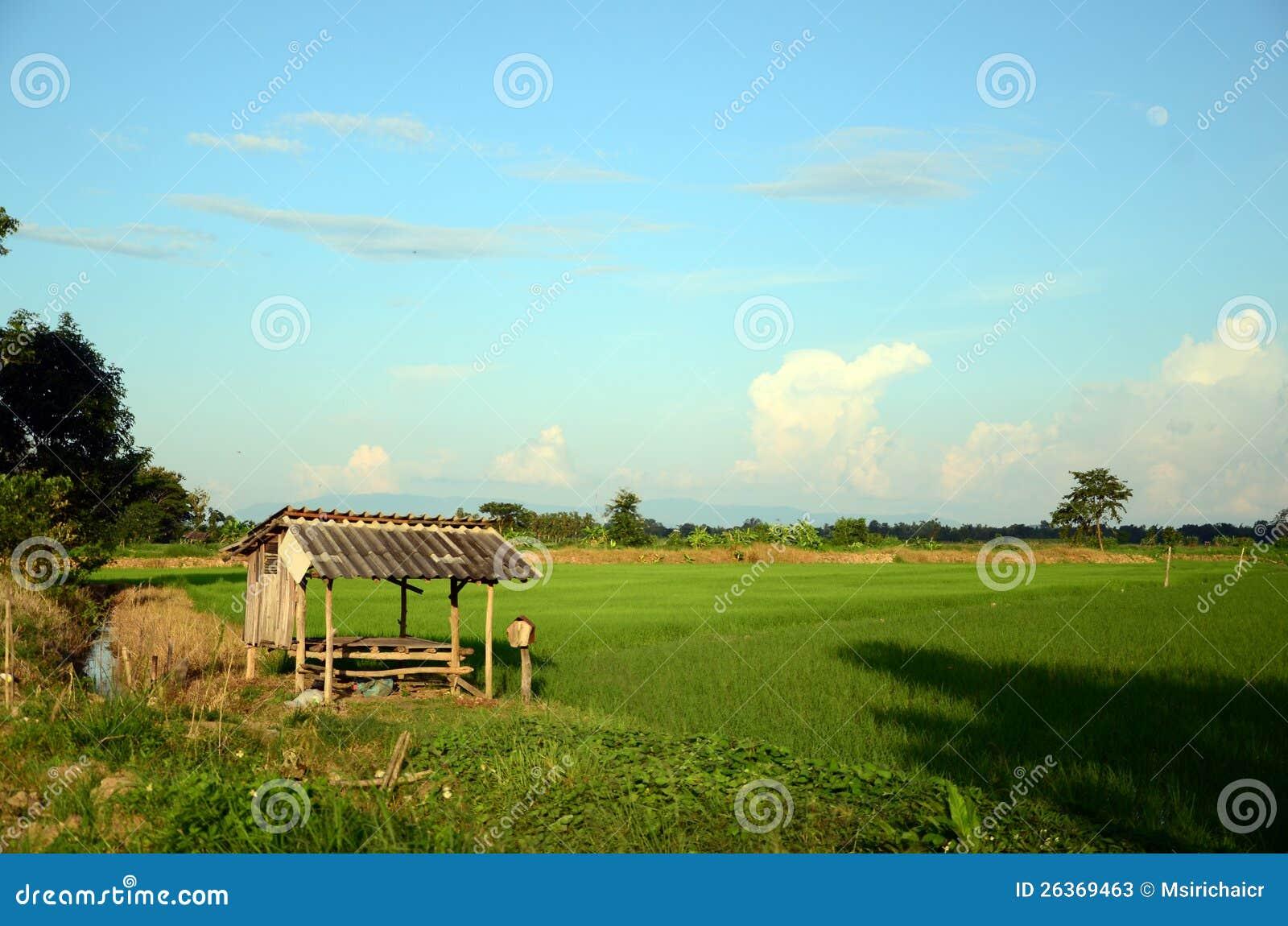 Reisfelder.
