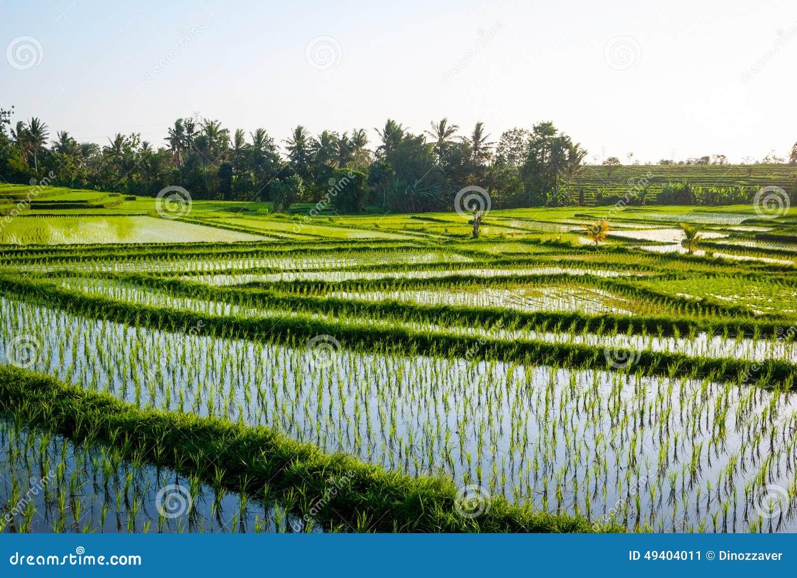 Download Reisfelder Mit Jungem Reis, Indonesien Stockbild - Bild von grün, field: 49404011