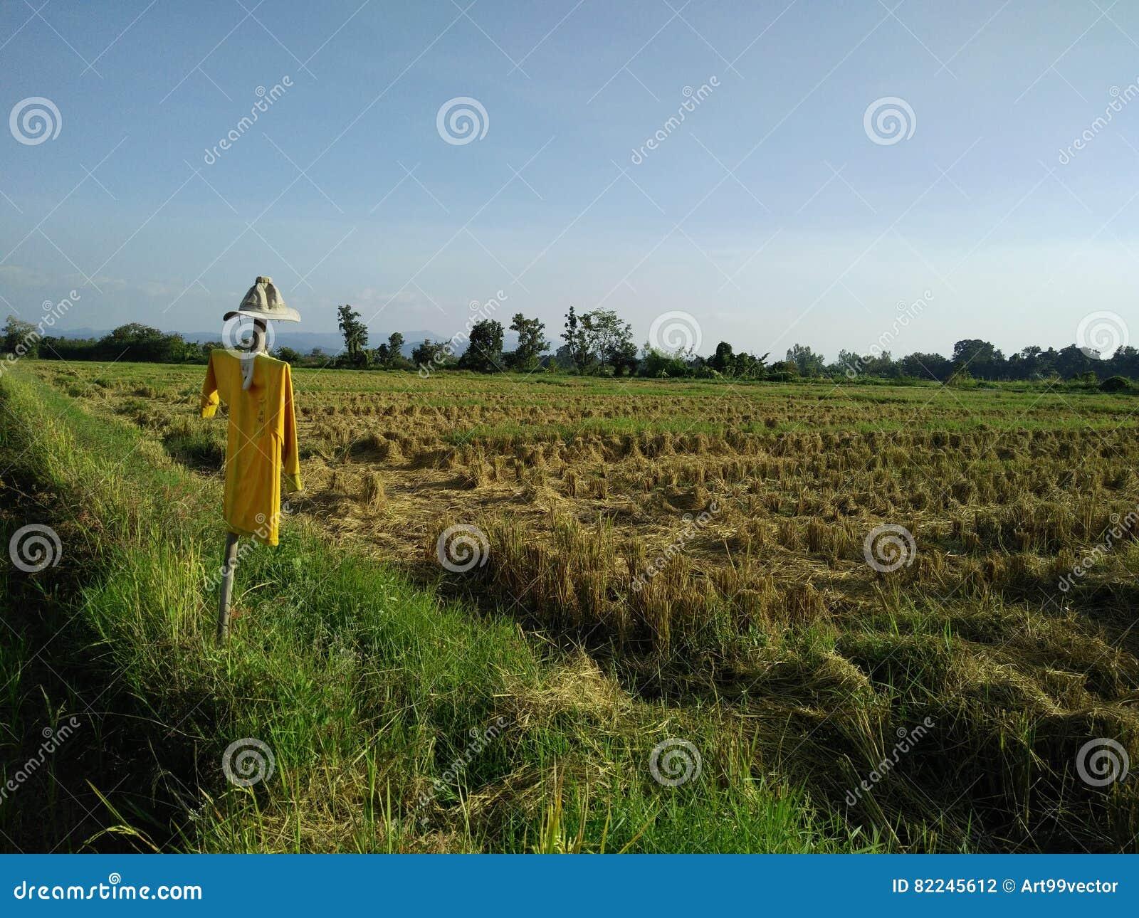 Reisfelder und Vogelscheuche