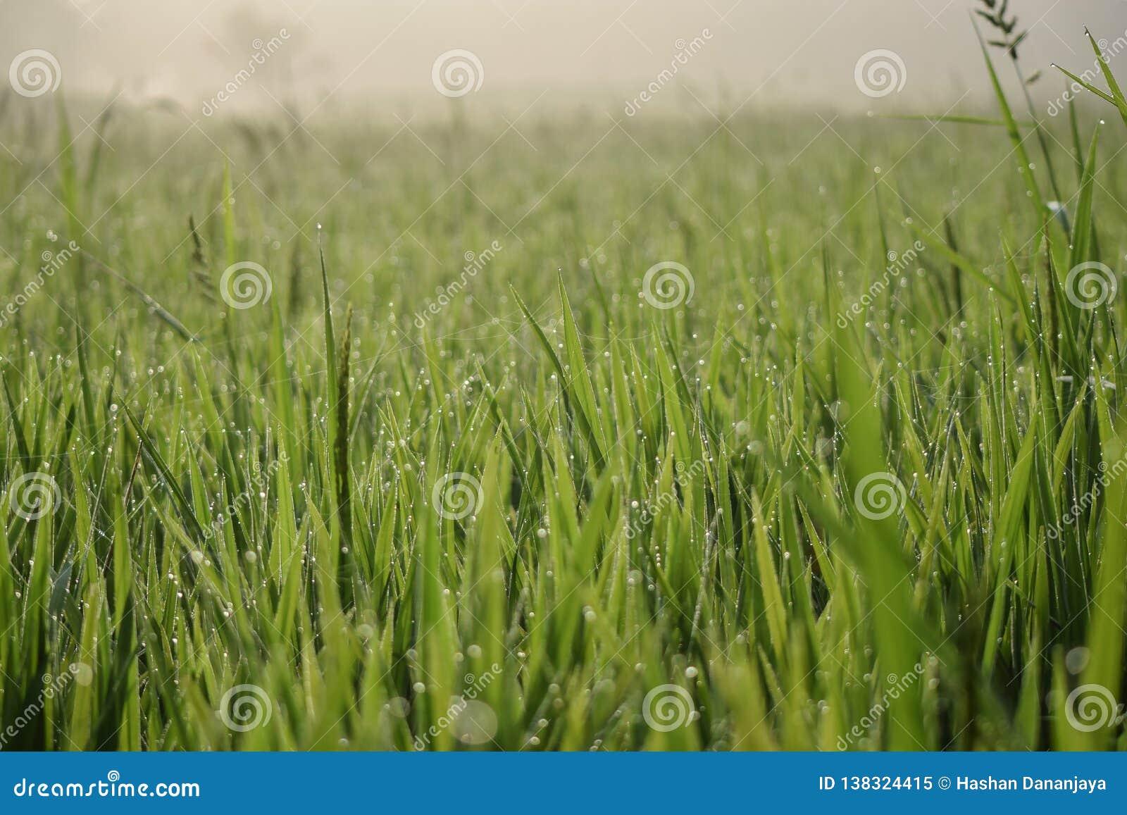 Reisfeldhintergrund|Morgen|Paddy fild|Hintergrund|schön |grün