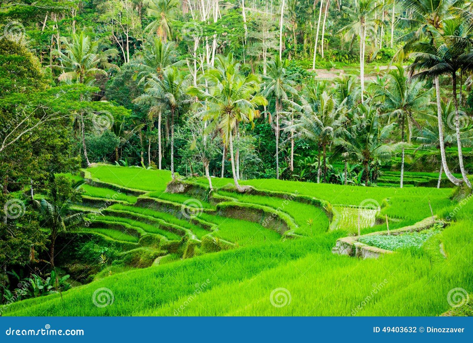 Download Reisfeldterrassen In Indonesien Stockfoto - Bild von paddy, bali: 49403632