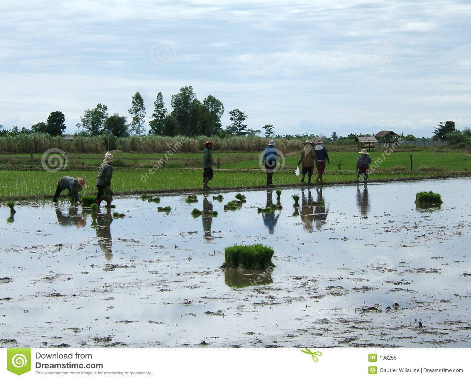 Reisplantage in Thailand