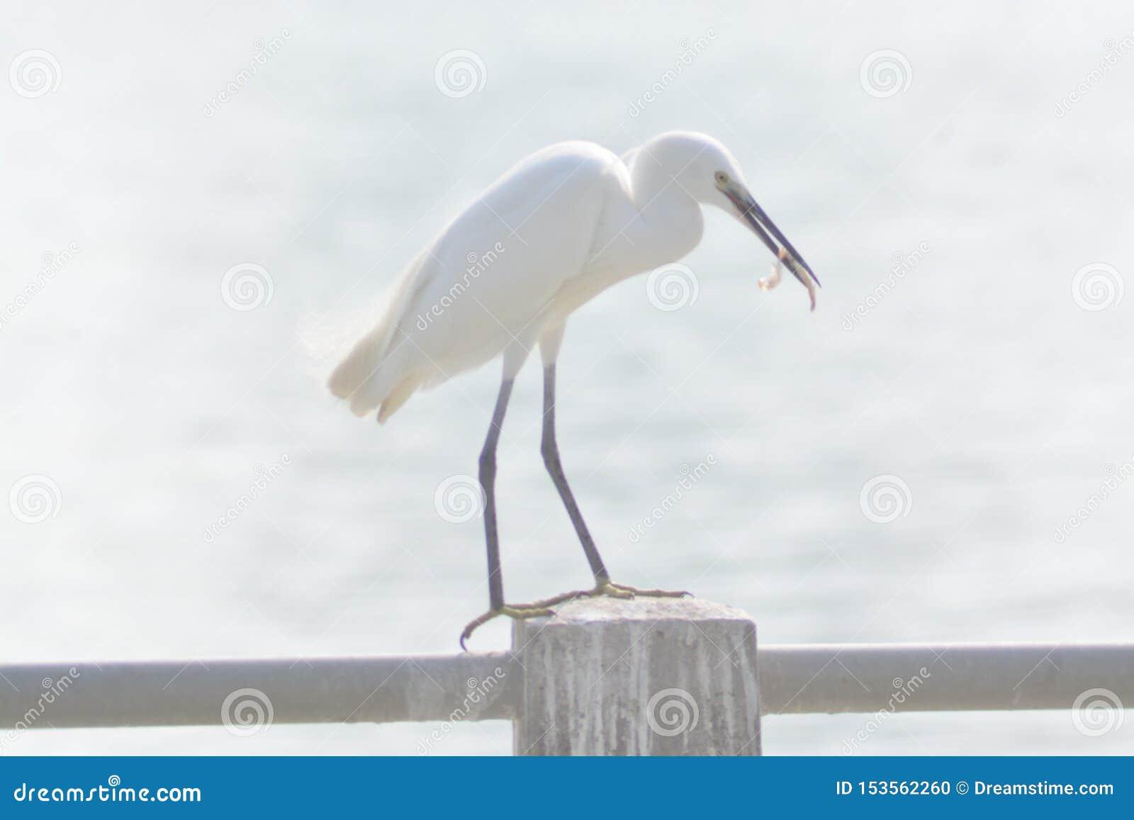Reizende weiße Enten von Xiamen