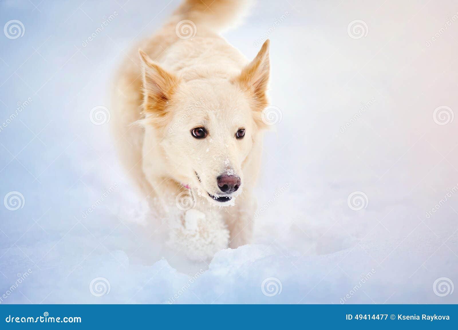 Download Reizender Hund, Der In Winter Läuft Stockbild - Bild von groß, öffnung: 49414477