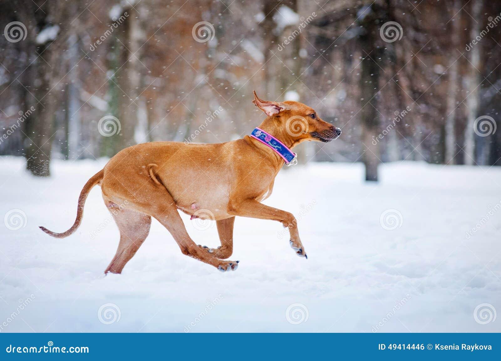 Download Reizender Hund Rhodesian Ridgeback, Der In Winter Läuft Stockfoto - Bild von hunde, nett: 49414446
