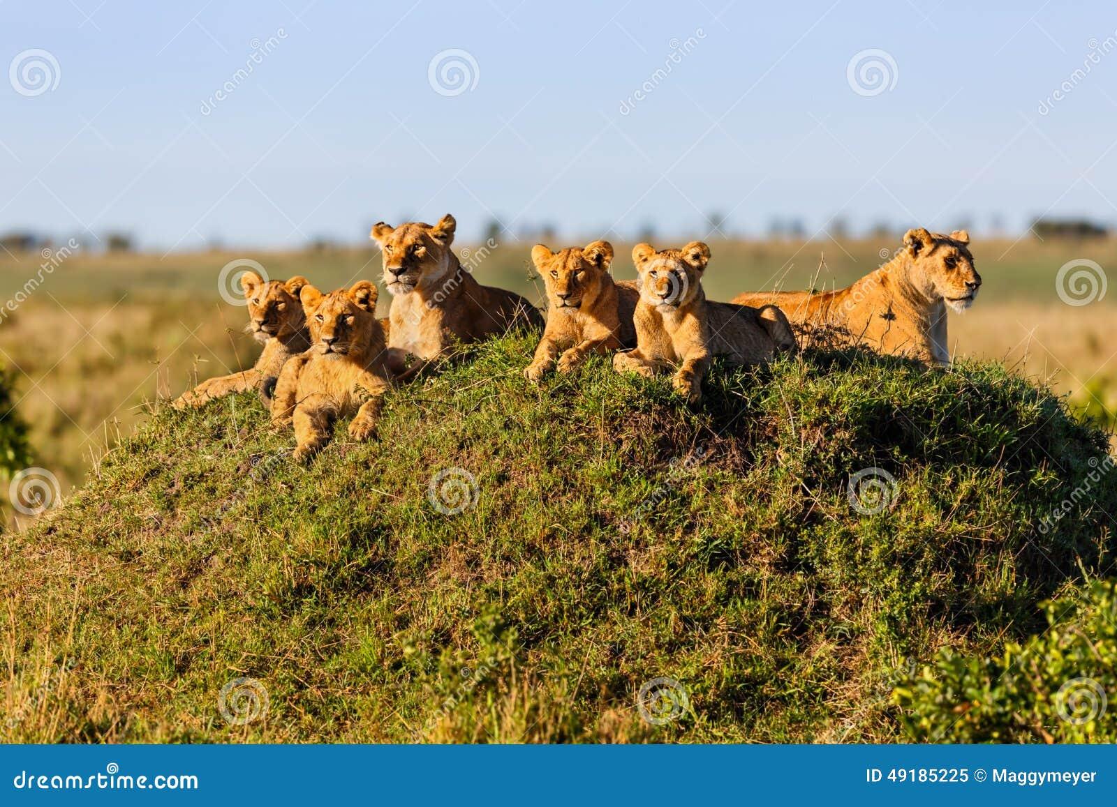 Rekero在马塞语玛拉的狮子自豪感