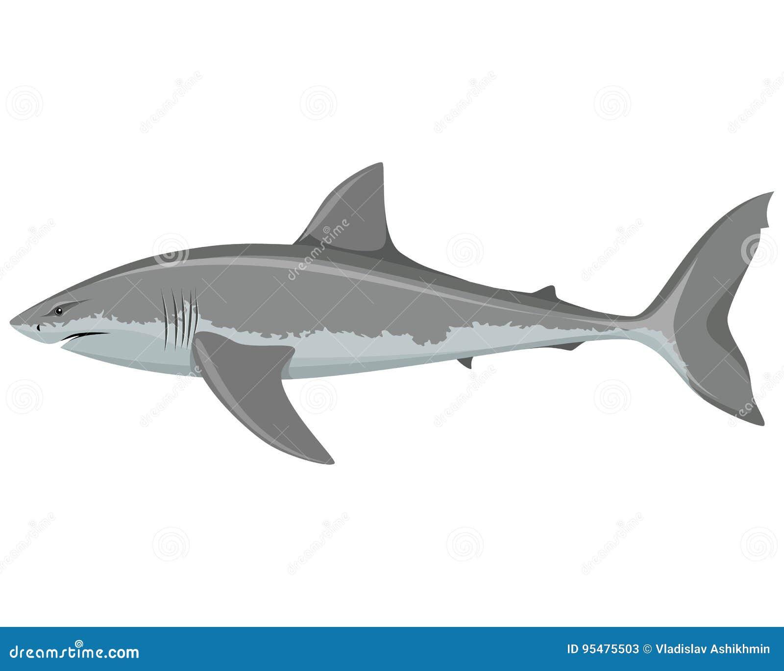 Rekinu duży biel